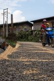 Drying seeds in the sun on local dirt road near inle lake in myanmar stock photo