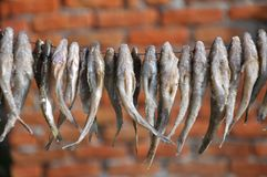 Drying of small fish on a cord royalty free stock images