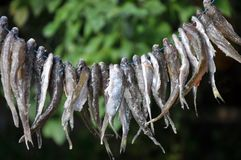 Drying of small fish on a cord stock photography