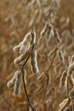 Drying soybeans Royalty Free Stock Photos