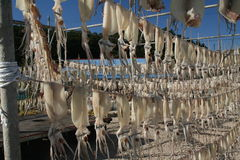 Drying Squid. Squid put out on hangars to dry before being sent to market as a snack food stock photos