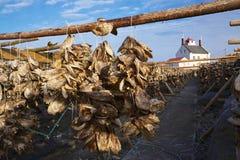 Stock fish. Drying stock fish on island of Vaeroy, Lofoten islands, Norway Stock Photography