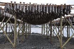 Drying Stock Fish In Norway Royalty Free Stock Image
