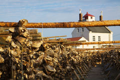 Drying stock fish in Norway. Traditional way of drying stock fish on Lofoten islands in Norway Stock Image