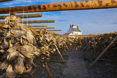 Drying stock fish. Traditional way of drying stock fish on Lofoten islands in Norway Stock Images