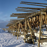 Drying stockfish Iceland Royalty Free Stock Photo