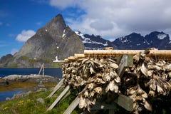 Drying of stockfish on Lofoten Stock Images
