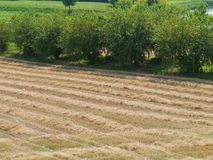 Drying straw. On a field in summer stock photos