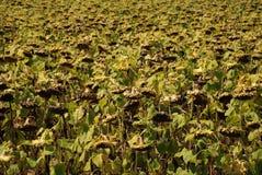 Drying Sunflowers, Hungary Stock Photography