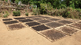 Drying tea leaves. In the sun, kyaukme, shan state, myanmar Stock Photo