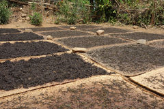 Drying tea leaves. In the sun, kyaukme, shan state, myanmar Royalty Free Stock Image