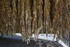 Drying tobacco in barn Stock Photos