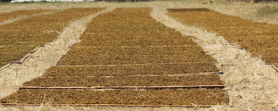 Drying the tobacco crop. Activity of drying tobacco tobacco farmers do only once a year because of tobacco plants can be harvested only once a year Stock Image