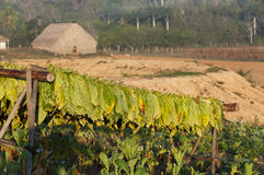 Drying tobacco on cuban fields Stock Photography