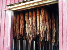 Drying tobacco leaves Royalty Free Stock Image