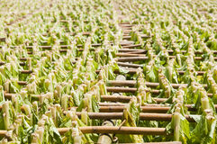 Drying tobacco leaves. Stock Photos