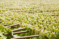 Drying tobacco leaves. Stock Photo