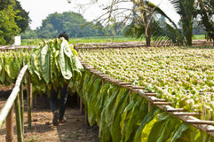 Drying tobacco leaves. Royalty Free Stock Images