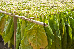 Drying tobacco leaves. Stock Image