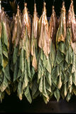 Drying tobacco leaves Stock Image