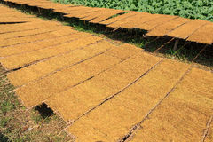 Drying tobacco leaves to the sun and view of tobacco plant Royalty Free Stock Image