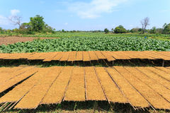 Drying tobacco leaves to the sun and view of tobacco plant Stock Photos