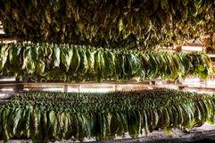 Drying of tobacco leaves, Vinales, Cuba Stock Image