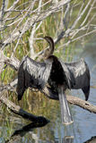 Drying Wings. Bird drying wings in Everglades National Park, Florida Stock Photo