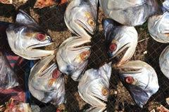 dryingfiskhuvud Arkivfoto