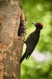 与两个年轻人的黑啄木鸟Dryocopus martius在巢孔 从捷克森林的野生生物场面 免版税库存照片
