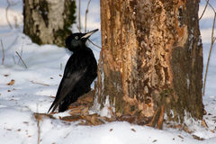 Dryocopus martius, Black Woodpecker Royalty Free Stock Images