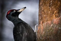 Dryocopus martius, Black Woodpecker Stock Photos