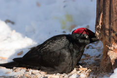 Dryocopus martius, Black Woodpecker Royalty Free Stock Photos