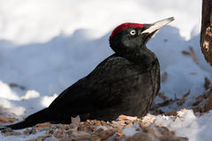 Dryocopus martius, Black Woodpecker Royalty Free Stock Image