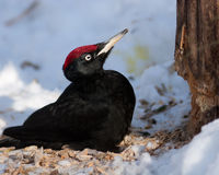 Dryocopus martius, Black Woodpecker Stock Image