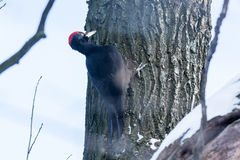 Dryocopus martius, Black Woodpecker. Royalty Free Stock Image