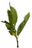 Dryocosmus-kuriphilus Schaden auf Kastanienbaum - Gallwespeplage stockbild