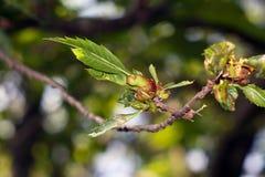 Dryocosmus kuriphilus Yasumatsu Royalty Free Stock Photo