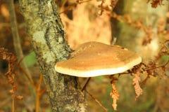 Dryophilus d'Inonotus Champignons de couche photographie stock libre de droits