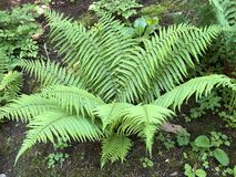 Free Dryopteris Affinis, Scaly Male Fern / Golden-scaled Male Fern - Botanical Garden Of The University Of Zurich Or Botanischer Garten Stock Photo - 150684900