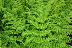 Dryopteris dilatata. Buckler-fern is growing in wood Stock Photos
