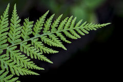 Dryopteris - wood fern Stock Image