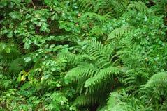 Dryopterix en nature Images stock