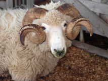 Drysdale Ram Royalty Free Stock Photography