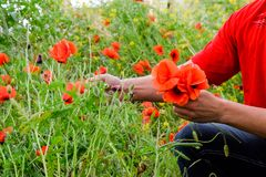 Drzeć maczki dla bukieta Maczek kwitnie w polanie Kwitnący czerwony dziki maczek makową czerwone kwiaty Obrazy Royalty Free