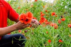 Drzeć maczki dla bukieta Maczek kwitnie w polanie Kwitnący czerwony dziki maczek makową czerwone kwiaty Obrazy Stock