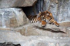drzemie 1 tygrysa zdjęcie stock
