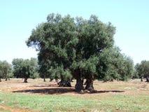 drzew oliwnych Zdjęcie Stock