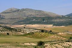 drzew oliwnych Obrazy Royalty Free