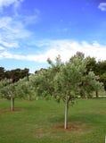 drzew oliwnych Obraz Stock